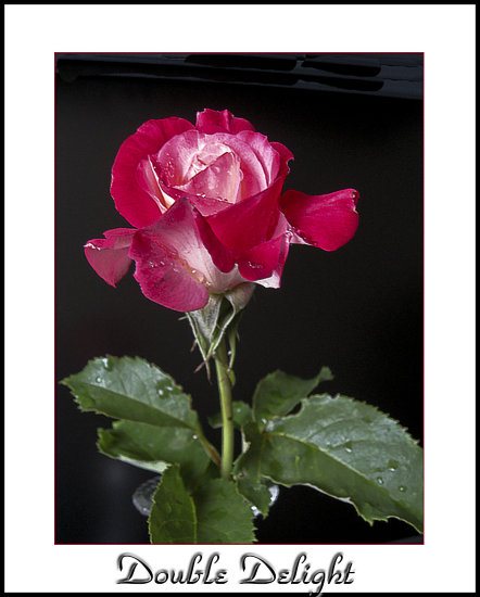 Rose bud flower plant doubledelight aloha Oregon