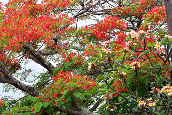 African Flame Tree and Frangipani Ramsgate KZN South Africa