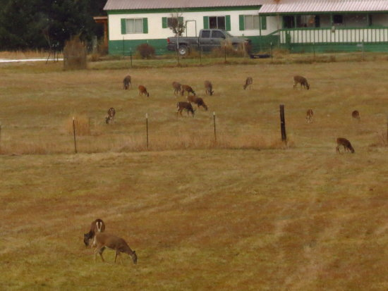 a few of the nearly 100 deer out in the field