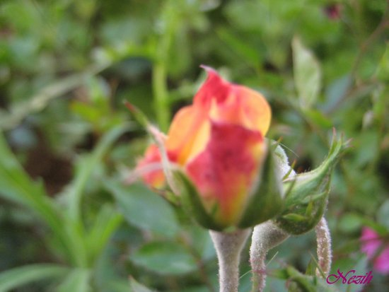 nezihmuin travel turkiye bozyazi tekmen flower red rosebud