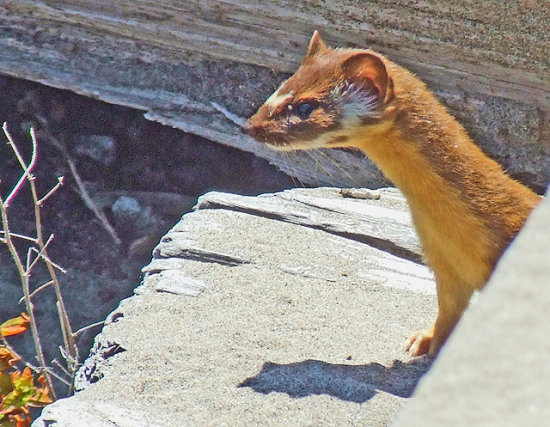 Long-tailed Weasel, July 26, 2008
