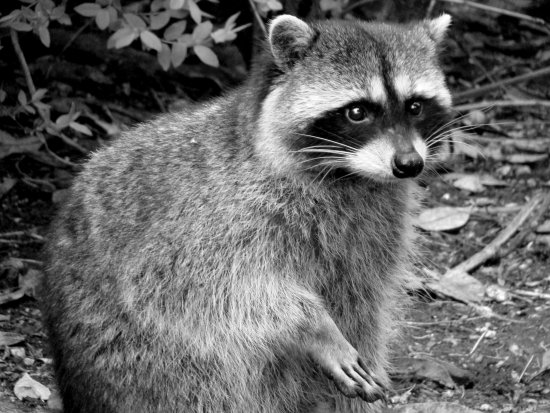 nature racoon BW