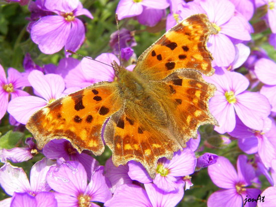 butterfly comma insect