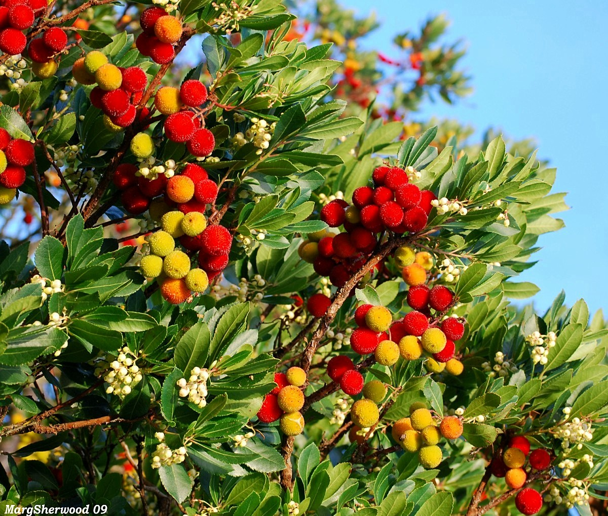 vvisitingmexico  images arbutus strawberry tree, Beautiful flower
