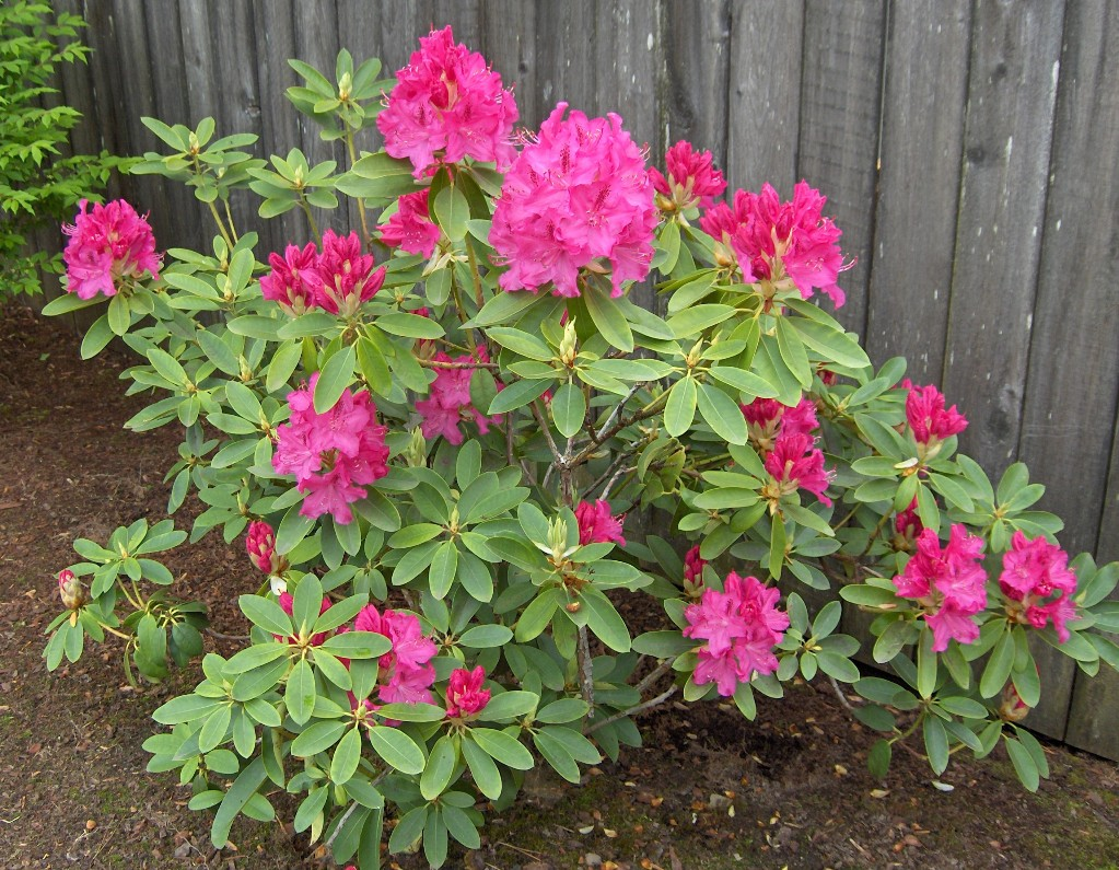 Rhododendron Flower Plant Pictures