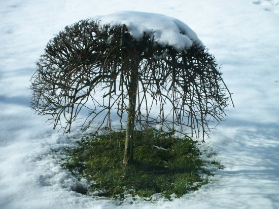 snow tree scotland