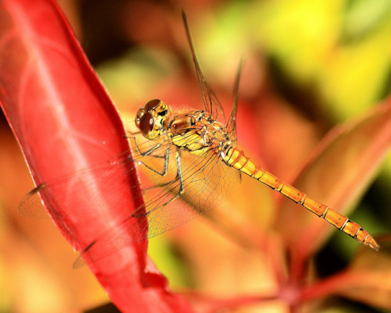 dragonfly insect wings winged plant leaf flight flying colourful macro