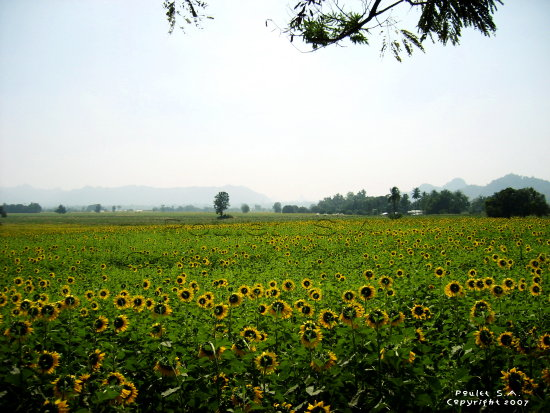 landscape thailand poulets 2007 nature sunflower