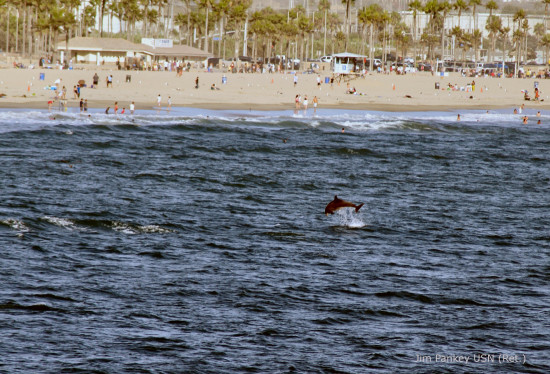 porpoise breaching Huntington Beach scene wildlife animal mammal fun sun ocean