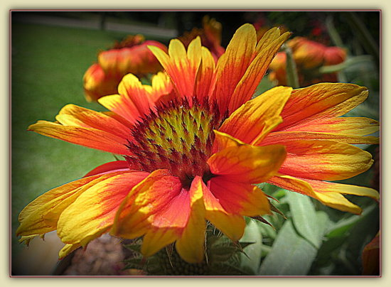 """""""Gaillardia"""" or Indian Blanket flower.  Native to southwestern U.S. I think.  These grow in clump..."""