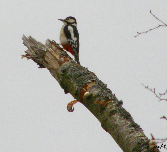 woodpecker great spotted