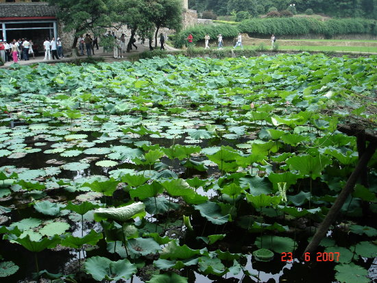 The lotus leaf before the former residence of Chairman Mao