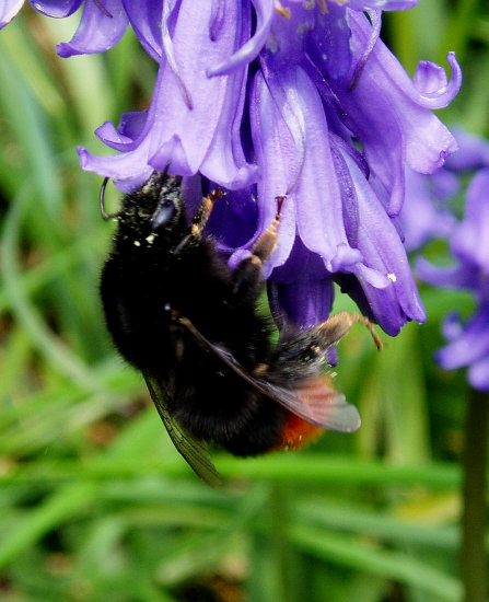 red tailed bumble bee bluebell flower