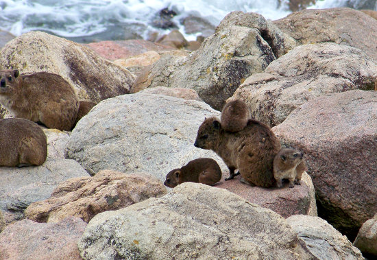 rock dassies Ramsgate KZN South Africa