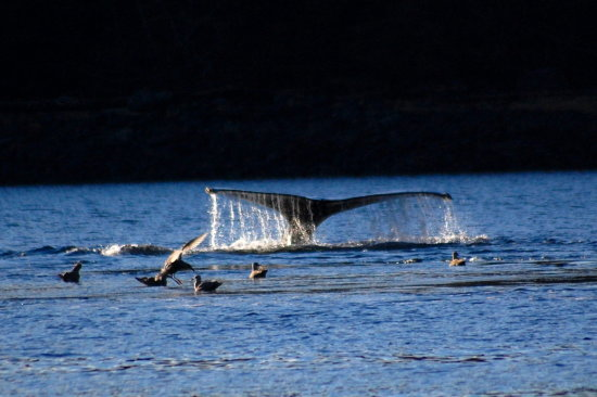 humpback whales bubble feeding alaska