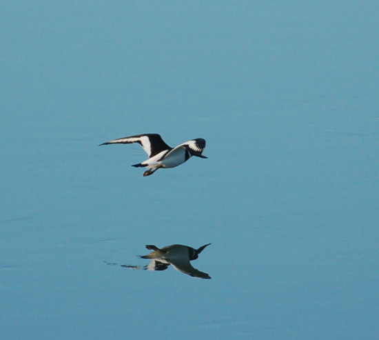 reflectionthursday oystercatcher fremington quay river taw devon