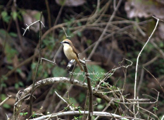 shrike dandeli karnataka india