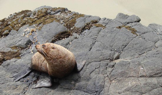 fur seal sun rocks harbour entrance dunedin new zealand littleollie