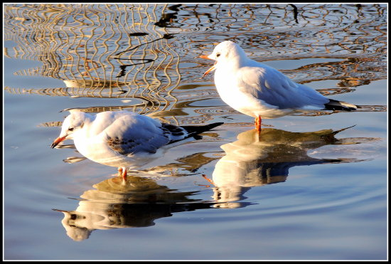 reflectionthursday gulls birds