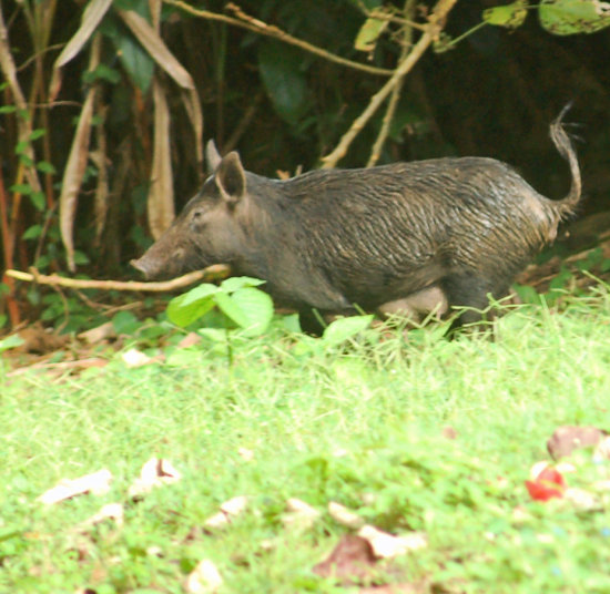 Ho'omaluhia Last picture of this series. Wild pig. When I first saw this I thought it was a do...