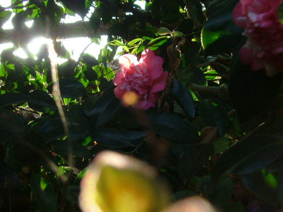 pink Flower and sun