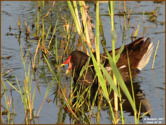 A Moorhen protesting against my presence�