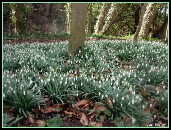 Clifton Woods Snowdrops