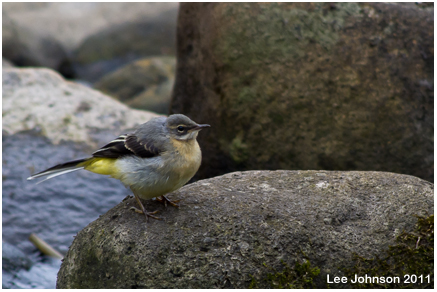 Wildlife Nature Bird Grey Wagtail Spideyj
