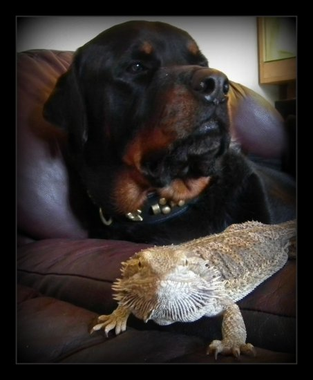 Rottweiler bearded dragon