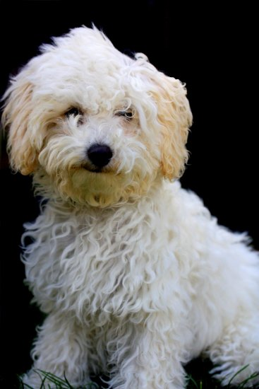 Oscar the toy poodle/Bichon Frise mix! :)