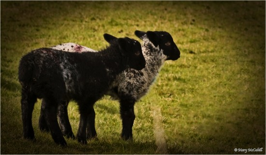 Lambs Donegal Ireland Nature Spring