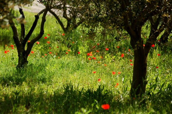 cotignac provence poppies