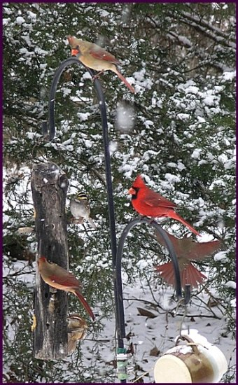 birdfeeders cardinal carolinawren whitethroatedsparrow snow winter