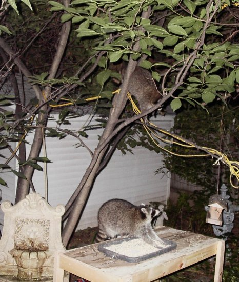 taken fall winter in our backyard one raccoon in the tree the on