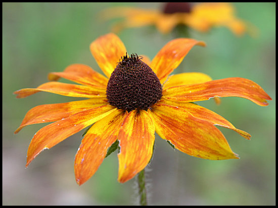 blackeyedsusan wildflower orange