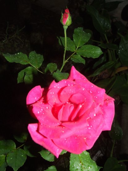 nigth rose