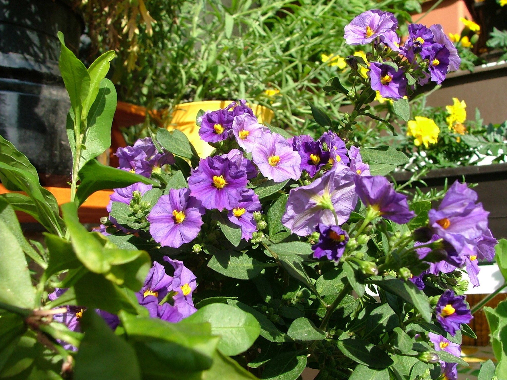 Our flowers in the balcony Glory Flower Princess Flower Tibouchina urvillea