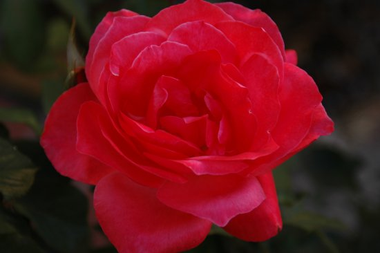 flower rose red beauty lovely romantic sensation