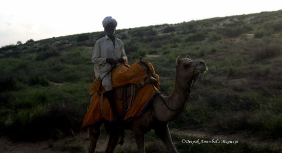 twin saddle camel jaisalmer rajasthan india