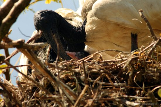 black headed ibis feeding chick