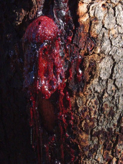 sinister tree sap perth hills littleollie