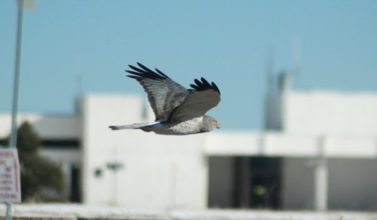 Mr Tommy the male Northern Harrier