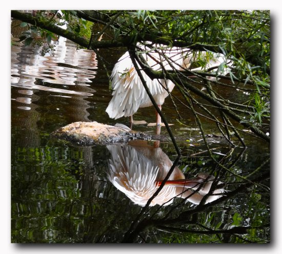 netherlands emmen zoo bird reflectionthursday nethx emmex zoox animx birdx