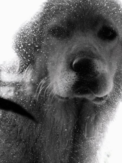 dog hovawart animal pet rain drops