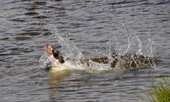 dartmoor rivers diving dog splash
