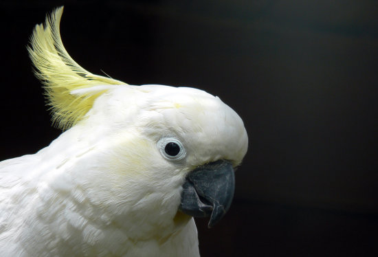 sulphur crested cockatoo parrot white bird feather crest cornwall