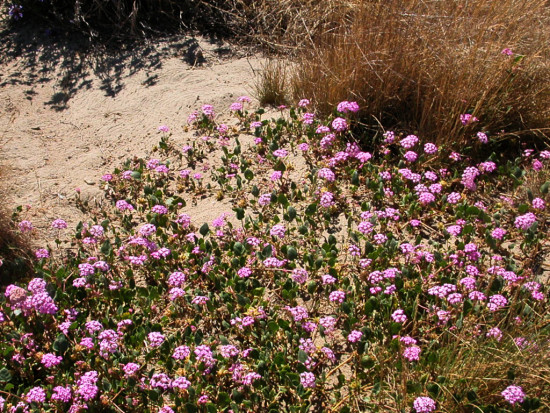 summer bay wildflowers beach oakportfph shadows pink pinkfph