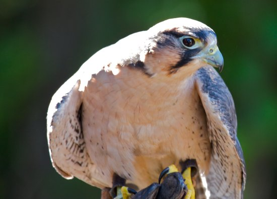 mkass Falcon