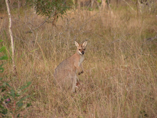 A (wild) Red-necked Wallaby with a joey, you can just see the tiny head through the grass (view o...