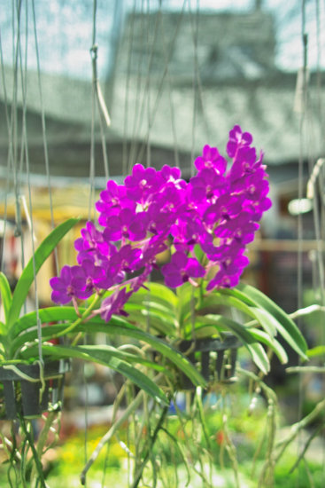 Pattaya Orched Flower Mark